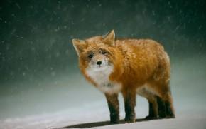Picture winter, snow, Fox