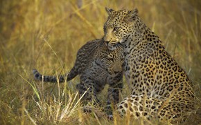Picture grass, family, leopard, pair, weasel, cub, two, leopards, poses, mother, teen