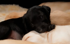 Picture black, dog, baby, puppy