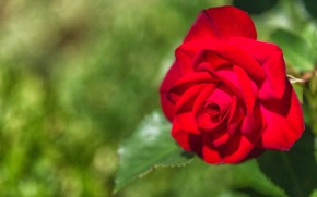 Picture flower, rose, Bud, red, green background, bokeh, bright