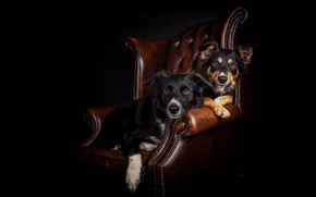 Picture dogs, portrait, chair, a couple, black background, two dogs