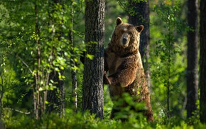 Picture greens, forest, summer, look, face, light, trees, pose, green, background, tree, paws, bear, bear, trunk, ...