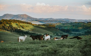 Picture stay, a herd of cows, mountains, nature, pasture, trees, lie, the herd, field, meadow, hills, …