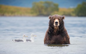 Picture birds, river, seagulls, bear, bathing, pond, brown