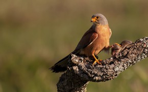 Picture background, bird, branch, Falcon, bitches, predatory, mining, rodent