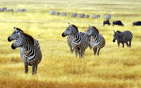 Picture animals, savanna, zebras