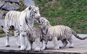 Picture cats, family, tigers, tigress, the cubs, white tigers