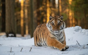 Picture winter, forest, look, snow, trees, tiger, pose, running