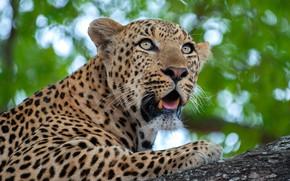 Picture look, face, background, portrait, paws, mouth, leopard, fangs, bokeh