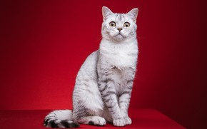 Picture cat, cat, look, sitting, red background, photoshoot, British, fotomodel