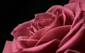 Picture macro, rose, petals, red