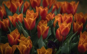 Picture flowers, background, spring, tulips, buds, a lot, red-orange