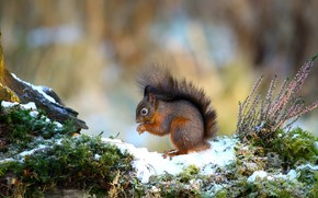 Picture snow, nature, background, moss, protein, Heather