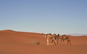 Picture sand, the sky, nature, hills, desert, barb, dunes, camel, space, three, Sands, camels, Bush