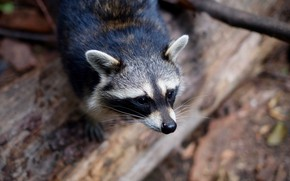Picture background, muzzle, raccoon, bokeh, the trunk of the tree