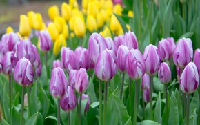 Picture tulips, purple, buds