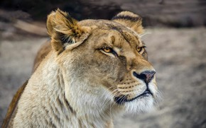 Picture cat, look, face, close-up, background, portrait, wild cats, lioness, zoo, harsh