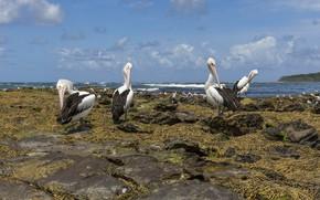 Picture sea, beach, the sky, clouds, algae, birds, nature, blue, stones, shore, pack, pond, pelicans, Pelican