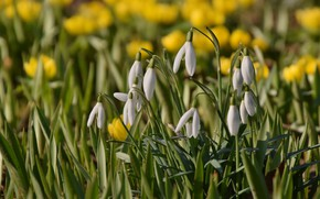 Picture flowers, spring, snowdrops, bokeh