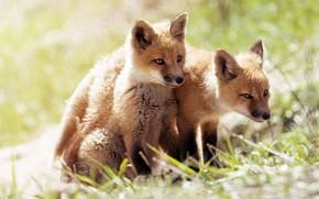 Picture light, nature, Fox, kids, a couple, two, bokeh, Fox, Fox, cubs