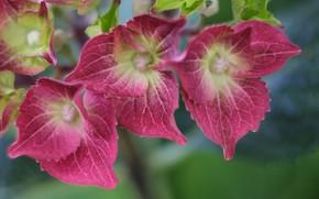 Picture flowers, macro, hydrangea
