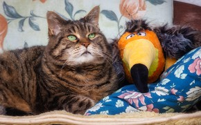 Picture cat, cat, look, face, pose, grey, bird, toy, lies, a couple, Toucan, friends, striped