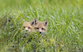 Picture grass, Fox, kids