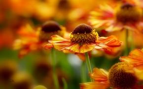 Picture bokeh, macro, petals, Gelenium