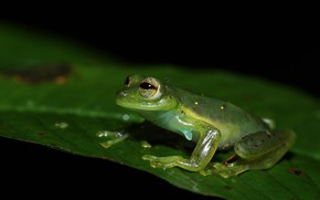 Picture look, macro, pose, leaf, frog, black background, sitting, green