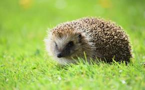 Picture greens, grass, look, nature, glade, hedgehog, face, hedgehog