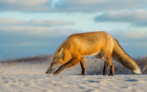 Picture beach, search, Fox, Fox