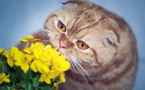 Picture cat, cat, look, face, flowers, background, portrait, yellow, fold, red, British