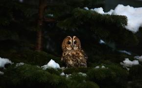 Picture winter, look, snow, branches, the dark background, owl, bird, spruce, needles