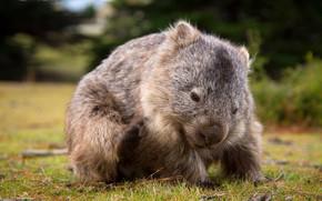 Picture field, nature, background, Australia, mammals, chord, marsupials, Wombat, dvortsovye, ambatovy