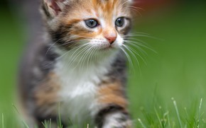 Picture cat, grass, look, kitty, portrait, kitty, face, spotted, motley, trekhchastny