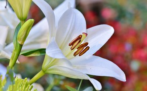 Picture white, flower, Lily