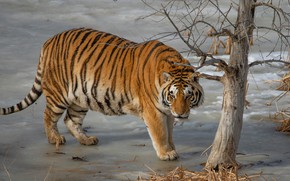 Picture tiger, pose, tree, walk