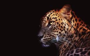 Picture eyes, mustache, look, face, light, close-up, portrait, leopard, black background, wild cat, handsome