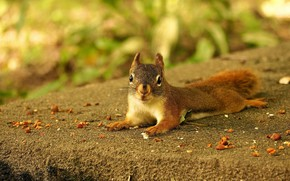 Picture look, nature, pose, background, paws, protein, muzzle, lies, shell, squirrel, bokeh, rodent, ate, after a ...