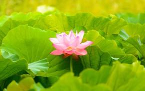 Picture Macro, Nature, Flower, Leaves, Petals, Lotus