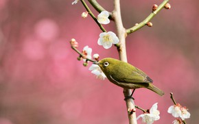 Picture flowers, branches, nature, pose, bird, spring, bird, pink background, flowering, little, Japanese, bright, spring, white-eyed, …