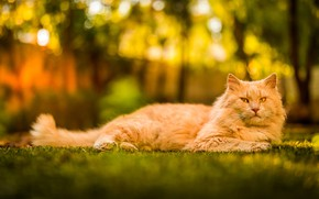 Picture cat, cat, glade, red, lies, bokeh