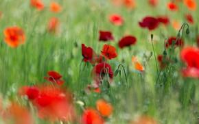 Picture field, summer, grass, flowers, stems, glade, Mac, Maki, blur, meadow, red, green background, bokeh, poppy