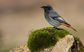 Picture the sun, nature, background, bird, stone, moss, bokeh, Phoenicurus ochruros, Black redstart, Black Redstart