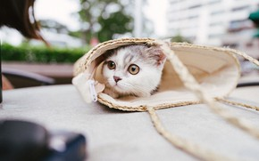 Picture cat, look, the city, kitty, table, street, bag, Munchkin