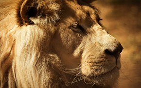 Picture look, face, close-up, portrait, Leo, mane, the king of beasts, profile, monochrome, important