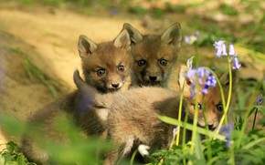 Picture look, light, flowers, nature, three, Fox, company, trio, faces, Fox, Fox, cubs, Trinity, brood