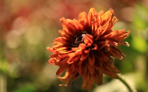 Picture flower, macro, light, orange, red, blur, petals, bokeh, rudbeckia
