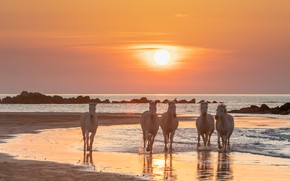 Picture sea, sunset, dawn, horses, horse, white, the herd