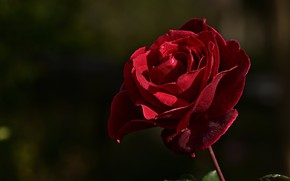 Picture flower, drops, light, the dark background, rose, Bud, red
